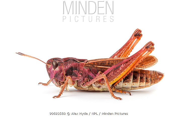 Rufous Grasshopper (Gomphocerippus rufus), photographed on a white background Aosta Valley, Monte Rosa Massif, Pennine Alps, Italy July  -  Alex Hyde/ npl