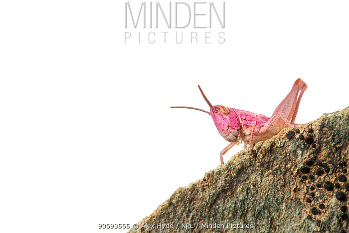 Common field grasshopper (Chorthippus brunneus) nymph, pink form Photographed on a white background Aosta Valley, Monte Rosa Massif, Pennine Alps, Italy July  -  Alex Hyde/ npl