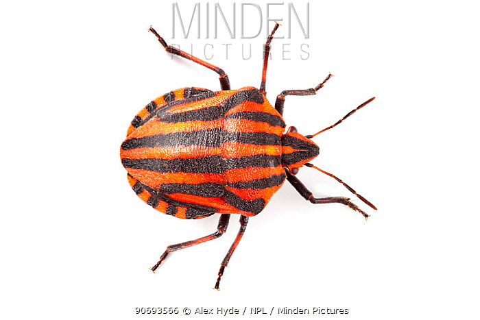 Shieldbug, Italian Striped-Bug, Minstrel Bug (Graphosoma lineatum) showing bold black and orange warning colours (aposematism) that warn of its foul taste Photographed on a white background Aosta Valley, Monte Rosa Massif, Pennine Alps, Italy July  -  Alex Hyde/ npl