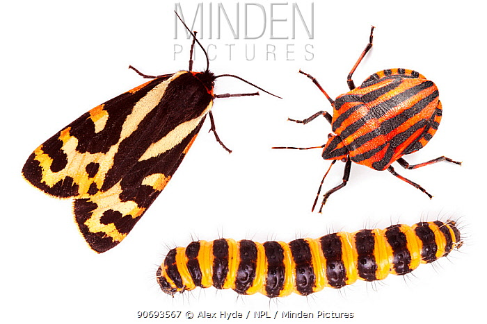Aposematism describes the use of bright colouration and bold patterns to advertise that an organism is unpalatable or dangerous All three insects are foul-tasting or toxic if eaten: Wood Tiger moth (Parasemia plantaginis), Italian Striped-Bug, Minstrel Bug (Graphosoma lineatum) and Cinnabar Moth (Tyria jacobaeae) caterpillar Composite image  -  Alex Hyde/ npl