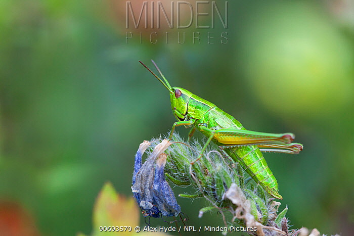 Small Gold Grasshopper (Euthystira brachyptera) in alpine meadow, Gran Paradiso National Park, Aosta Valley, Pennine Alps, Italy July  -  Alex Hyde/ npl