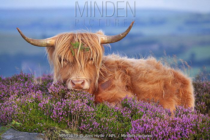 Highland cow lying on Heather, Curbar Edge, Peak District National Park, Derbyshire August  -  Alex Hyde/ npl