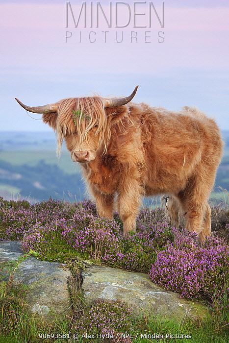 Highland cow on heather moorland, Curbar Edge, Peak District National Park, Derbyshire August  -  Alex Hyde/ npl