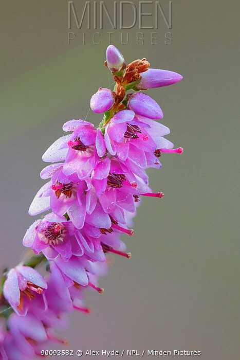 Heather (Calluna vulgaris) flower close-up, Curbar Edge, Peak District National Park, Derbyshire, UK August  -  Alex Hyde/ npl