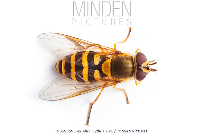 Hoverfly (Syrphus ribesii) showing Batesian mimicry, overhead view photographed on a white backgroud Derbyshire, UK August  -  Alex Hyde/ npl