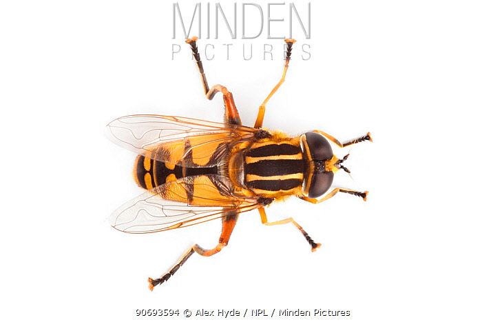 Hoverfly (Helophilus pendulus), overhead view showing Batesian wasp mimicry, photographed on a white background Derbyshire, UK September  -  Alex Hyde/ npl