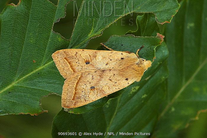 Yellow-line Quaker moth (Agrochola macilenta) found in deciduous woodland, Peak District National Park, Derbyshire, UK October  -  Alex Hyde/ npl