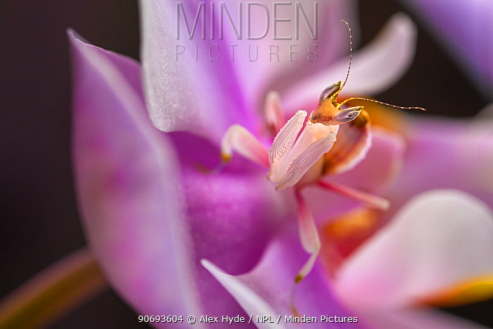 Malaysian Orchid Mantis (Hymenopus coronatus) showing pink colouration camouflaged on an orchid, Captive  -  Alex Hyde/ npl