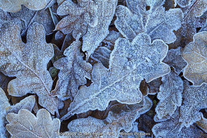 Sessile Oak (Quercus petraea) fallen leaves covered in frost Peak District National Park, Derbyshire, UK November  -  Alex Hyde/ npl