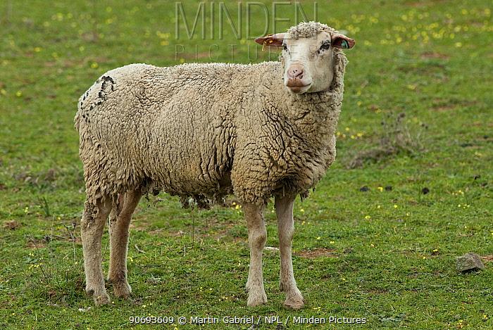 Female sheep ewe, Extremadura, Spain  -  Martin Gabriel/ npl