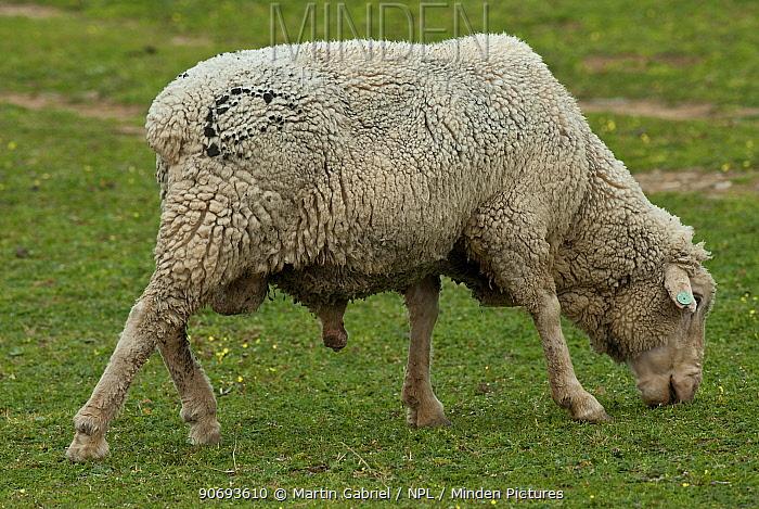Male sheep, ram, Extremadura, Spain  -  Martin Gabriel/ npl