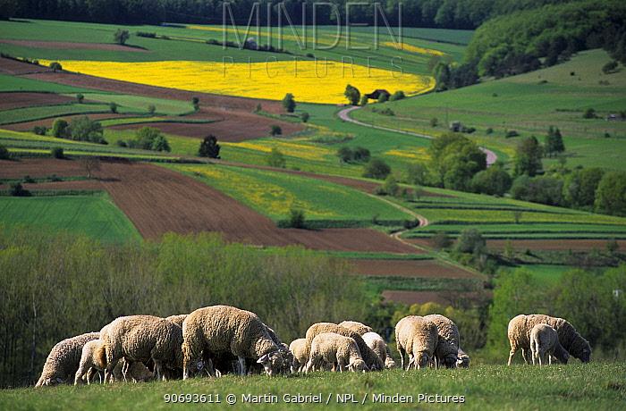 Grazing Merino sheep, Kelheim county, Bavaria, Germany  -  Martin Gabriel/ npl