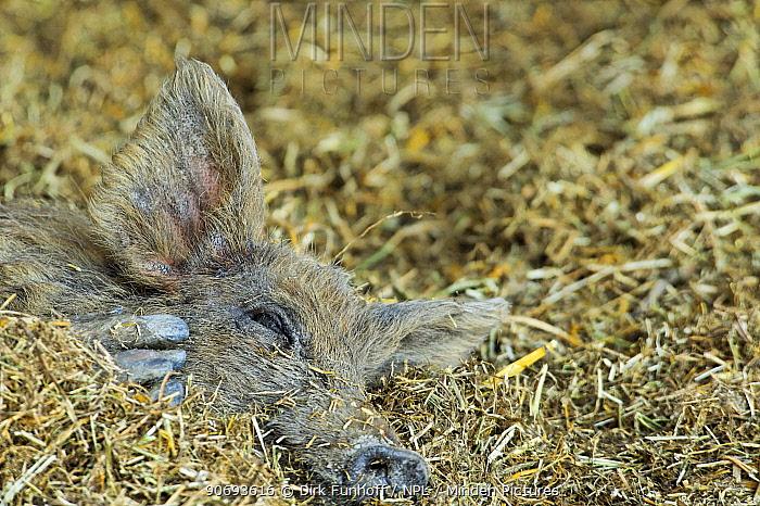 Mangalitsa pig resting, Illmitz, Austria  -  Dirk Funhoff/ npl