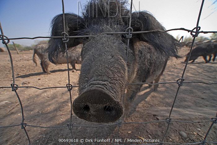 Mangalitsa pig sticking nose through fence, Illmitz, Austria  -  Dirk Funhoff/ npl