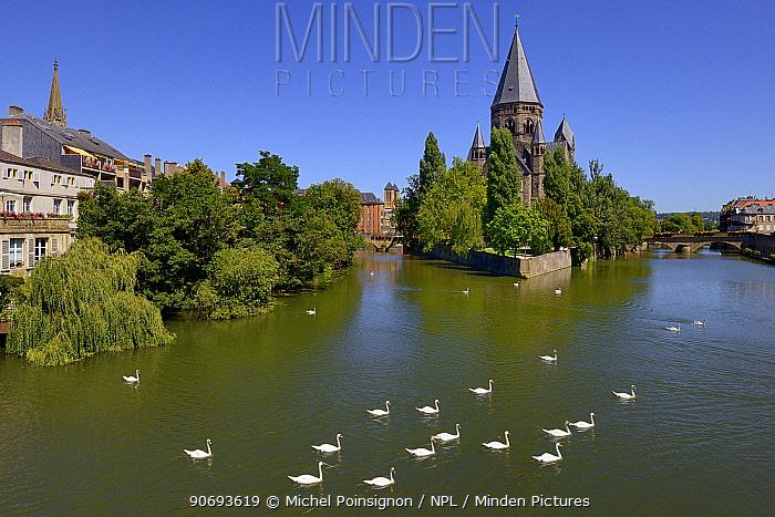 Mute wans (Cygnus olor) on Moselle River by Le Temple Neuf Metz, Lorraine, France  -  Michel Poinsignon/ npl