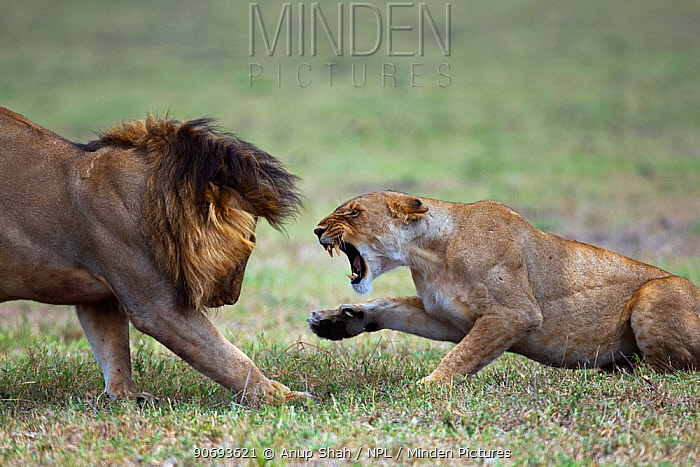 African lion (Panthera leo) lioness resisting a male lion's advances, Masai Mara National Reserve, Kenya March 2011 sequence 3 of 3  -  Anup Shah/ npl