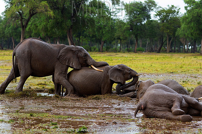 African elephant (Loxodonta africana) herd wallowing in a water hole, Masai Mara National Reserve, Kenya March  -  Anup Shah/ npl