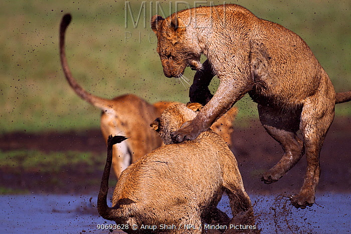 African lion (Panthera leo) cubs aged between 18 and 24 months playing at a water hole, Masai Mara National Reserve, Kenya March  -  Anup Shah/ npl