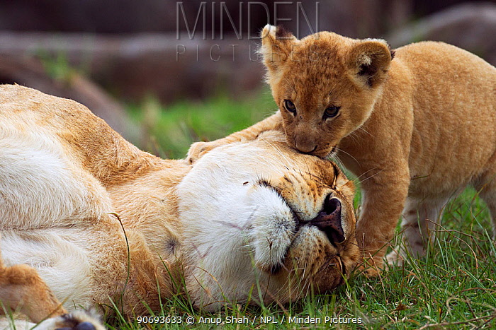 African lion (Pathera leo) lioness resting with her playful cub aged 1-2 months, Masai Mara National Reserve, Kenya March  -  Anup Shah/ npl