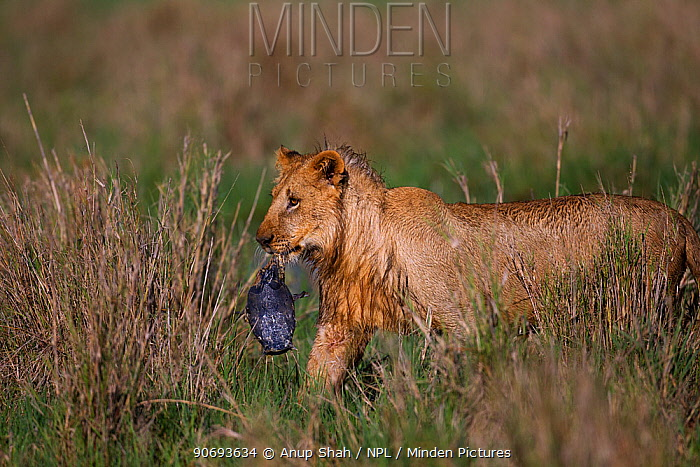 African Lion (Panthera leo) adolescent male with a terrapin in its mouth, Masai Mara National Reserve, Kenya March  -  Anup Shah/ npl