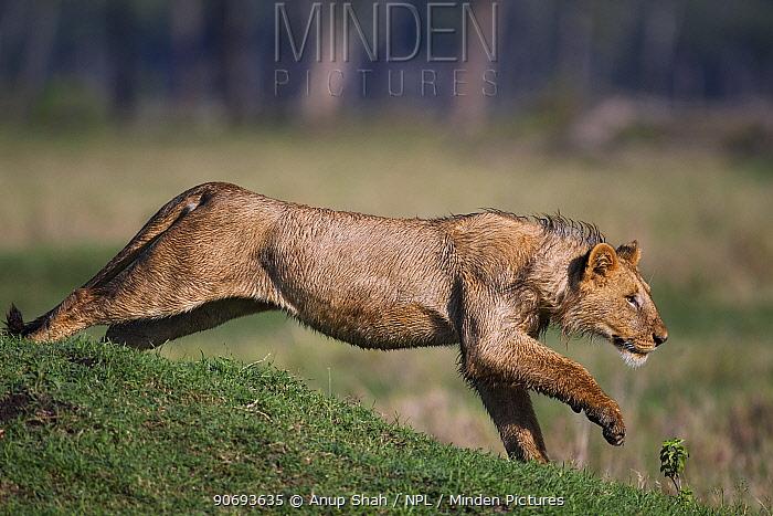 African Lion (Panthera leo) adolescent male running, Masai Mara National Reserve, Kenya March  -  Anup Shah/ npl