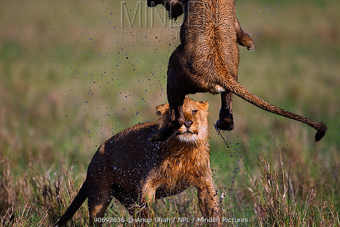 African Lion (Panthera leo) adolescent male and female play fighting in waterlogged grassland, Masai Mara National Reserve, Kenya March  -  Anup Shah/ npl