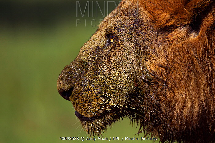 African Lion (Panthera leo) male head portrait, after feeding on a kill, Masai Mara National Reserve, Kenya March  -  Anup Shah/ npl