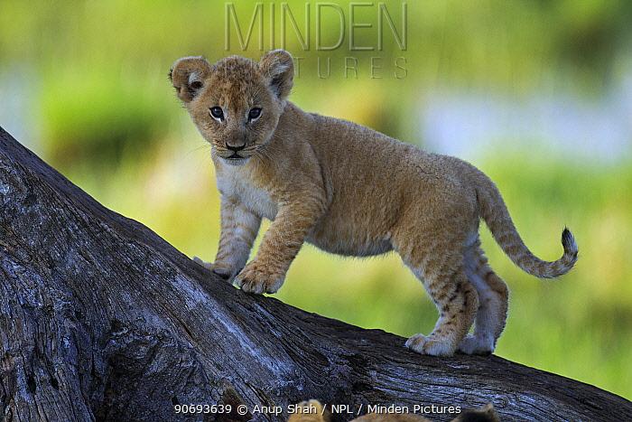 African Lion (Panthera leo) cub aged 1-2 months walking on a fallen tree, Masai Mara National Reserve, Kenya March  -  Anup Shah/ npl
