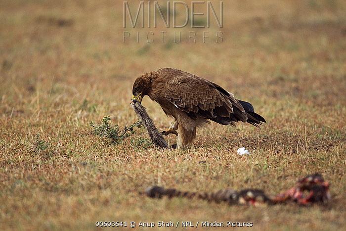 Tawny eagle (Aquila rapax) scavenging after a kill, Masai Mara National Reserve, Kenya March  -  Anup Shah/ npl