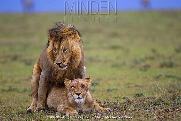 African Lions (Panthera leo) pair mating, Masai Mara National Reserve, Kenya March  -  Anup Shah/ npl