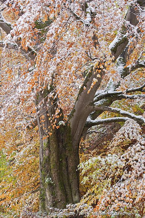 Beech (Fagus sylvaticus) forest in autumn with early snow Drackenstein, Swabian alb, Baden-Wurttemberg, Germany, October  -  Kerstin Hinze/ npl