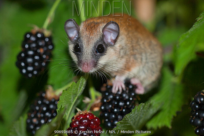 Forest Dormouse (Dryomys nitedula) on blackberries (Rubus) Captive, Germany  -  Kerstin Hinze/ npl