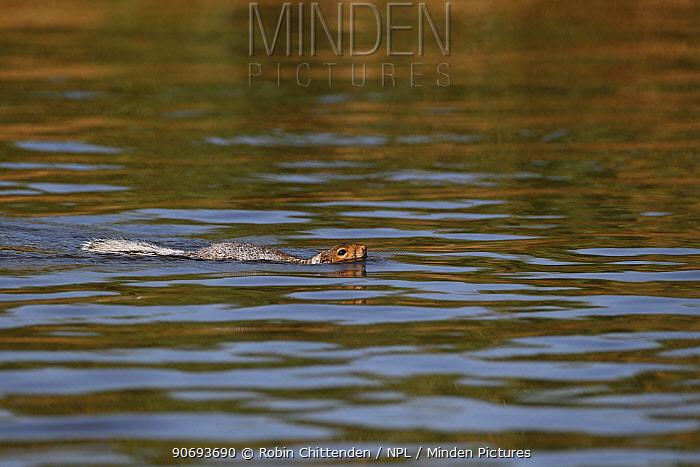 Grey Squirrel (Sciurus carolinensis) swimming Martham, Norfolk, UK, September  -  Robin Chittenden/ npl