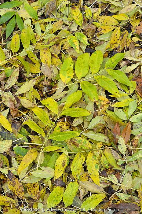 Fallen Ash (Fraxinus excelsior) leaves in autumn, Surrey, England, October  -  Adrian Davies/ npl