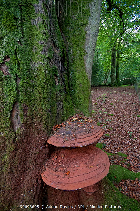 Southern bracket fungus (Ganoderma australe) growing on an ancient Beech (Northofagus) tree, Sussex, England, UK, October  -  Adrian Davies/ npl