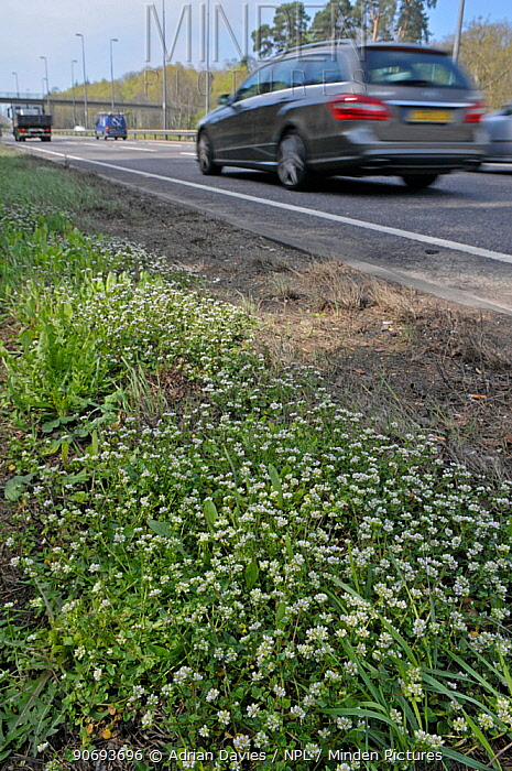 Danish scurvy grass (Cochlearia danica) growing on the embankment of a road Scurvy grass is normally limited to coastal habitats and has extended its range recently, Surrey, England, UK, April  -  Adrian Davies/ npl