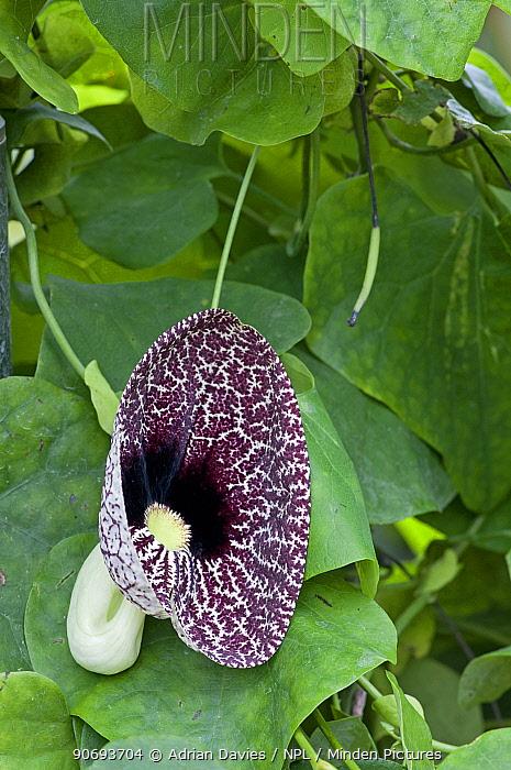 Calico flower (Aristolochia elegans)  -  Adrian Davies/ npl
