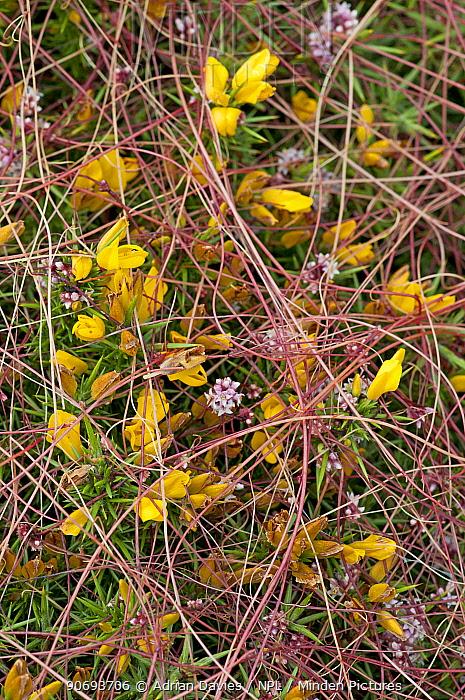 Common dodder (Cuscuta epithymum) parasitising Gorse (Ulex europaeus), Devon, England, July  -  Adrian Davies/ npl