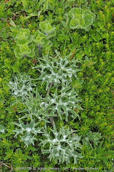Alpine eryngo (Eryngium alpinum) leaves, Picos de Europa, Spain, June  -  Adrian Davies/ npl