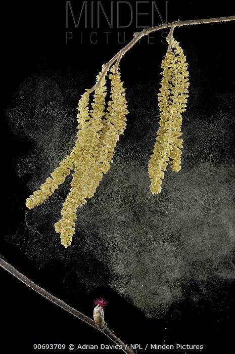 Male Hazel (Corylus avellana) catkins shedding pollen onto female flower, March  -  Adrian Davies/ npl