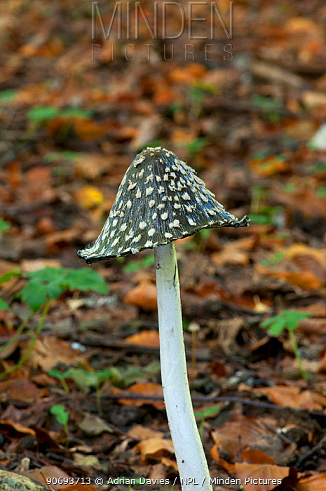 Magpie fungus (Coprinus picaceus) growing on woodland floor, Surrey, England, UK, October  -  Adrian Davies/ npl