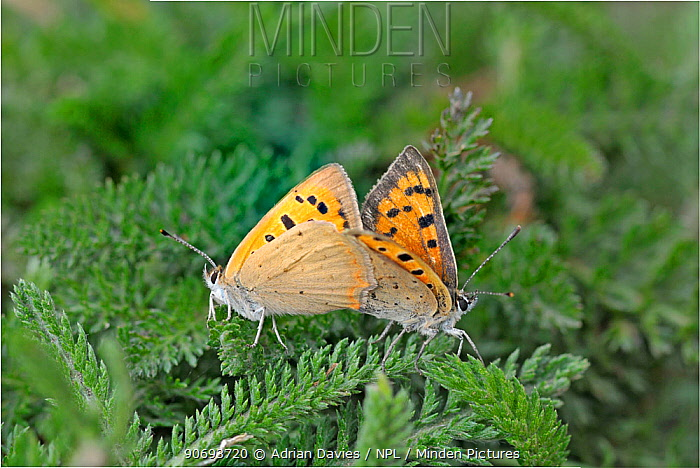 Pair of Small copper butterflies (Lycaena phlaeas) mating, Devon, England, UK, July  -  Adrian Davies/ npl
