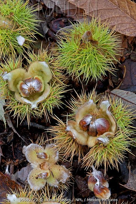 Chestnuts from a Sweet chestnut tree (Castanea sativa) on forest floor, Surrey, England, UK, October  -  Adrian Davies/ npl
