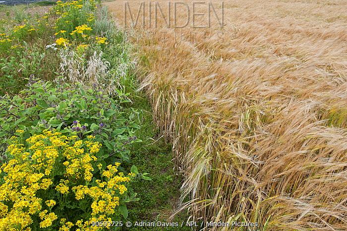 Wildflowers including Ragwort (Jacobaea vulgaris) and Burdock (Arctium) left to grow along the margin of a Barley (Hordeum vulgare) field, Prawle, Devon, England, UK, July  -  Adrian Davies/ npl