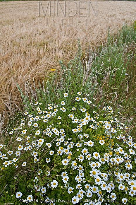 Wildflowers, including Ox eye daisies (Leucanthemum vulgare) left to grow along the margin of a Barley (Hordeum vulgare) field, Prawle, Devon, England, UK, July  -  Adrian Davies/ npl