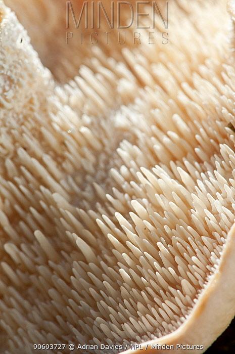 Close up of the underside a Wood hedgehog fungus (Hydnum repandum), showing its teeth-like spore-bearing structures, Surrey, England, UK, October  -  Adrian Davies/ npl