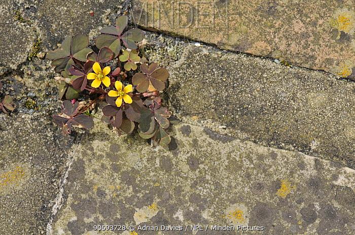 Yellow oxalis (Oxalis corniculata) growing in the gaps between paving slabs on a garden path, Surrey, England, UK, August  -  Adrian Davies/ npl