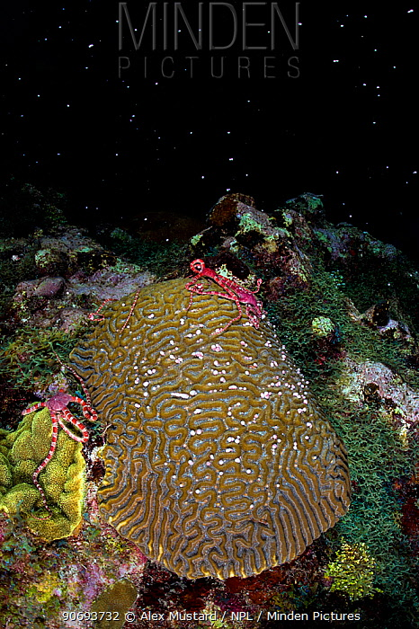 Three Ruby brittlestars (Ophioderma rubicundum) climbing a Symmeterical brain coral (Diploria strigosa) as it spawns at night in late summer East End, Grand Cayman, Cayman Islands, British West Indies Caribbean Sea  -  Alex Mustard/ npl
