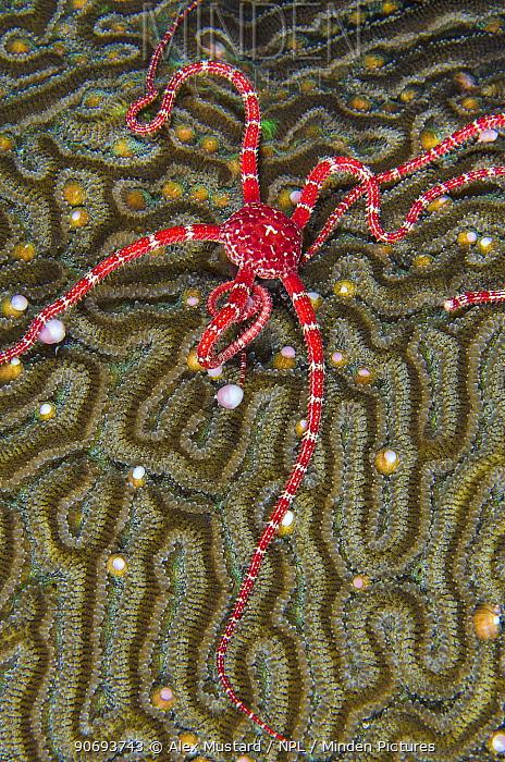 A Ruby brittle star (Ophioderma rubicundum) feeding on the spawn from a Symmeterical brain coral (Diploria strigosa), East End, Grand Cayman, Cayman Islands, British West Indies, Caribbean Sea  -  Alex Mustard/ npl