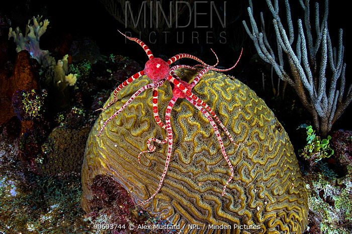 Two Ruby brittlestars (Ophioderma rubicundum) climbing a Symmeterical brain coral (Diploria strigosa) as it spawns at night in order to feed on the coral eggs, East End, Grand Cayman, Cayman Islands, British West Indies Caribbean Sea  -  Alex Mustard/ npl